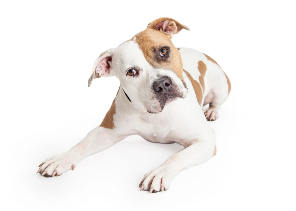 American Staffordshire Dog Laying Tilting Head