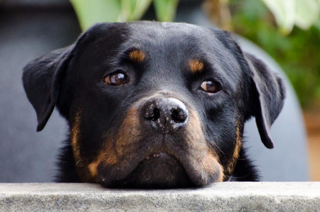 dog-218965